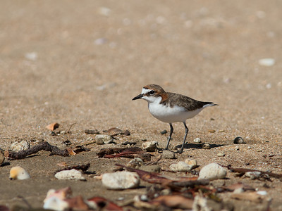 PLOVER RED-CAPPED F_01