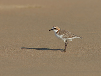 PLOVER RED-CAPPED F_11