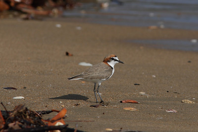 PLOVER RED-CAPPED_34