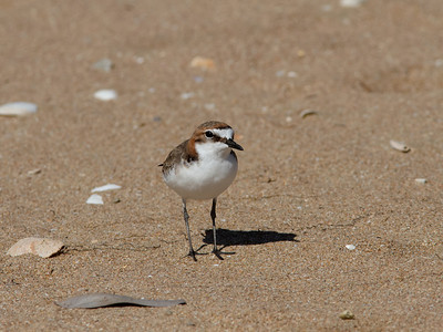 PLOVER RED-CAPPED F_03