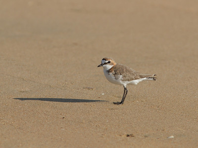 PLOVER RED-CAPPED F_12