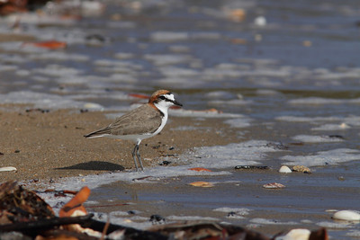 PLOVER RED-CAPPED_36