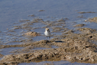 PLOVER RED-CAPPED JUV_01