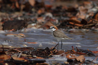 PLOVER RED-CAPPED_32