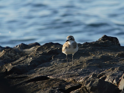 PLOVER SAND GREATER 01 AT SUNSET, ON A HIGH TIDE ROOST SITE