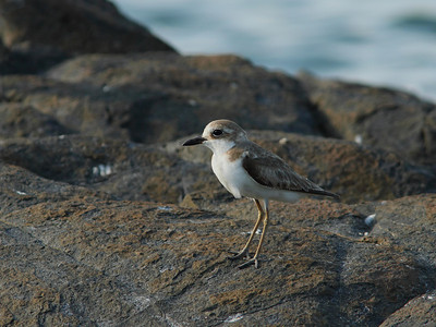 PLOVER SAND GREATER_04