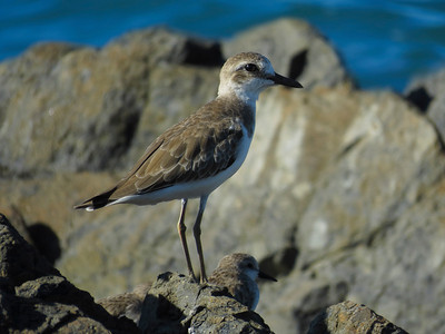 PLOVER SAND GREATER_07