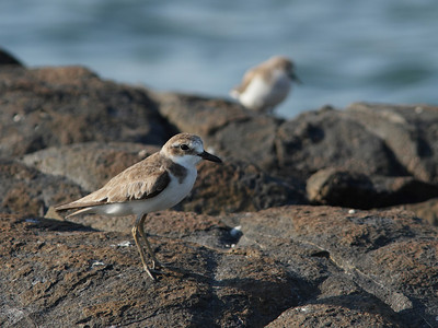 PLOVER SAND GREATER_03