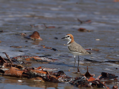 PLOVER RED-CAPPED_33