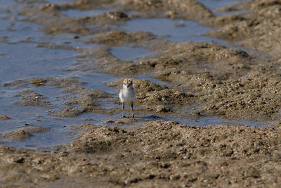 PLOVER RED-CAPPED JUV_02