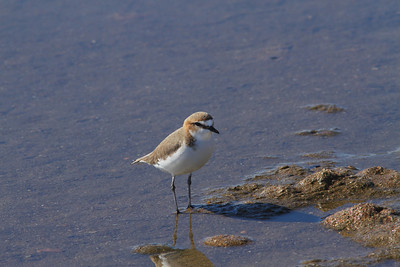PLOVER RED-CAPPED F 09