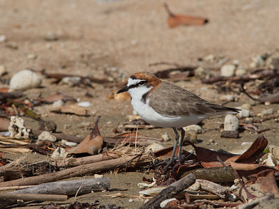 PLOVER RED-CAPPED_38