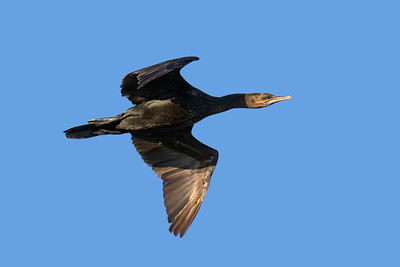 CORMORANT LITTLE BLACK__15