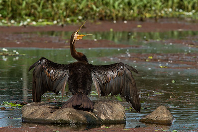 The male Darter, drying its wings in the early morning sun.