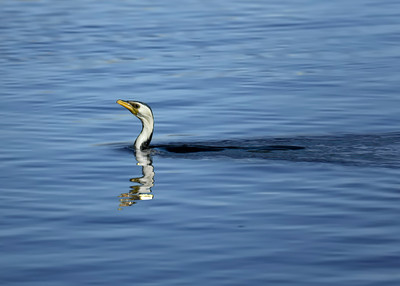 CORMORANT LITTLE PIED_17