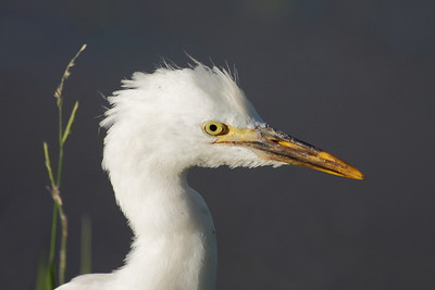 EGRET CATTLE  C_02