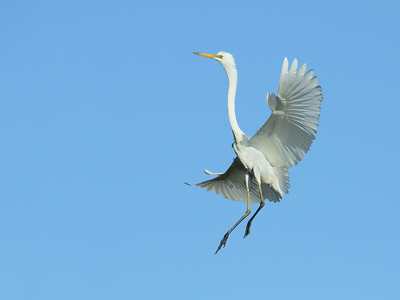 GREAT EGRET  16b  COMING IN TO LAND