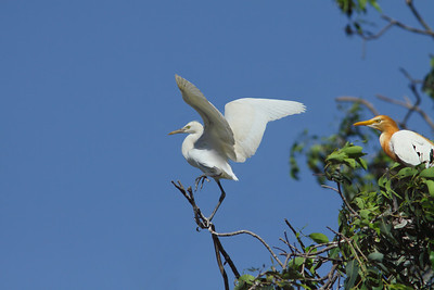 EGRET CATTLE J_01