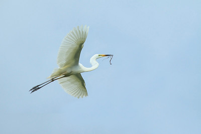 EGRET GREAT_08s