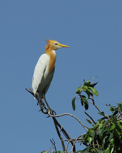 EGRET CATTLE_20