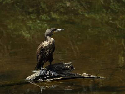 CORMORANT GREAT J_07