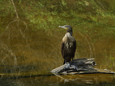 CORMORANT GREAT J_06