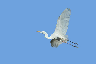 EGRET GREAT_10s