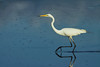 EGRET GREAT_52