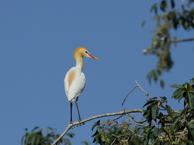 EGRET CATTLE_15