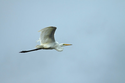 EGRET GREAT 02