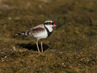 DOTTEREL BLACK-FRONTED  09 FORAGING ON THE FORESHORE OF A DRYING DAM