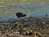 Dusky Moorhen chick busy feeding on the lake shore.