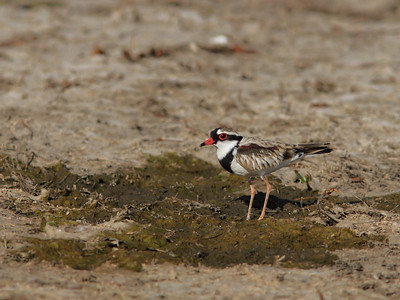 DOTTEREL BLACK-FRONTED  07 FORAGING ON THE FORESHORE OF A DRYING DAM