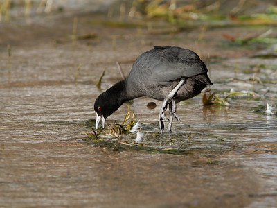 COOT  06