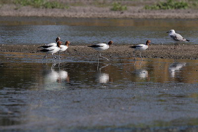 Though the Red-necked Avocet are not uncommon a 1000 km south of us, this is my first ever sighting of the species, in our region.