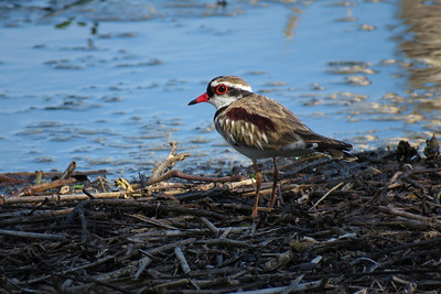 The smallest of Australia's freshwater wading birds, the Black-fronted Dotterel, photographed very late in the afternoon.