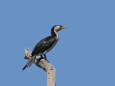 CORMORANT LITTLE PIED_11