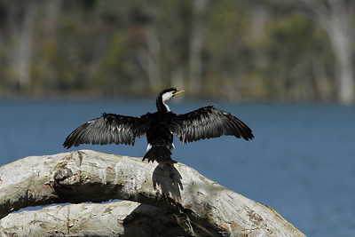 CORMORANT LITTLE PIED_06