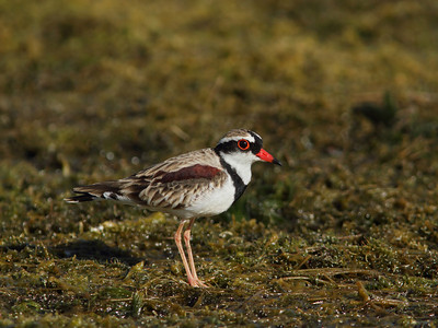 DOTTEREL BLACK-FRONTED  08 FORAGING ON THE FORESHORE OF A DRYING DAM