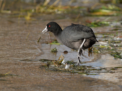 COOT 04