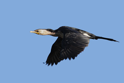 CORMORANT LITTLE PIED__02