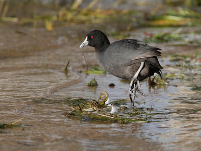 COOT  07