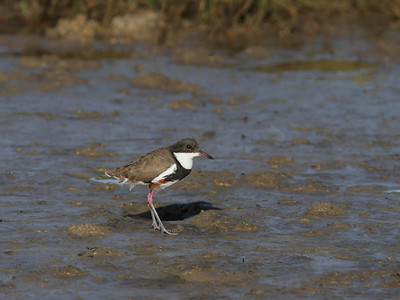DOTTEREL RED-KNEED_16