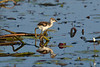 Baby Comb-crested Jacana out on the lilly pads. Dad was just out of sight.