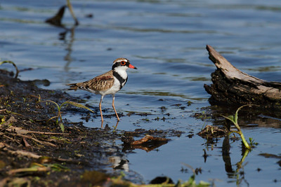 The smallest of Australia's freshwater wading birds, the Black-fronted Dotterel, photographed very late in the afternoon. This one being a juvenile of the species. The black band on its chest is not completey formed yet.