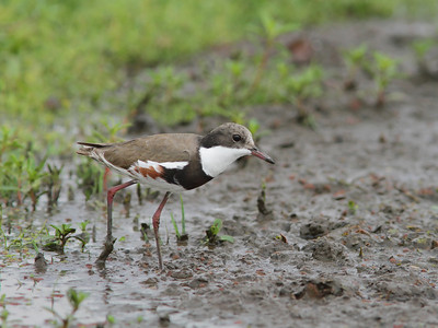 DOTTEREL RED-KNEED_12