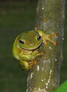 FROG TREE COMMON GREEN_03