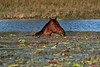 This horse was happily munching away on the water vegetation. It must have been very tasty, to have been immersed in the cold winter water.