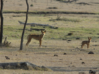 DINGO FEMALE  07  WITH PUP THE AUSTRALIAN NATIVE DOG, THE  DINGO, IS A CREATURE I GREATLY ADMIRE  FOR IT'S INTELLIGENCE AND RESILIENCE IN THE FACE OF RELENTLESS PERSECUTION BY THE WHITE MAN AND  THE QUIRKS OF MOTHER NATURE.  MAY THE DINGO OUTLIVE THEM BOTH .....