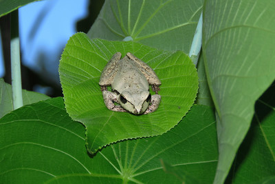 My first ever sighting of this not a commonly seen Lesueur's Frog.